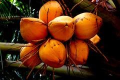 Noix de coco jaune Images libres de droits