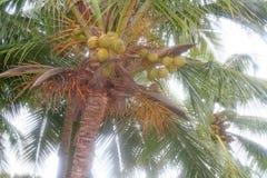 Noix de coco mûre juteuse prête pour la cueillette photos libres de droits
