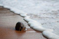 Noix de coco mûre sur le rivage Image libre de droits