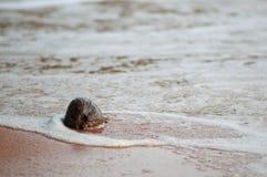 Noix de coco mûre sur le rivage Images libres de droits