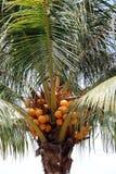 Noix de coco orange sur l'arbre de noix de coco la jeune noix de coco fraîche, les fruits tropicaux sont un ingrédient en dessert images stock