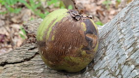 Noix de coco putréfiée Photo stock