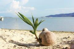 Noix de coco qui élève la mer proche Photos stock
