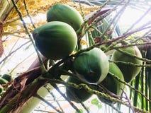 Noix de coco qui attend un jour pour se développer dans un grand enfant pour être prête à être un nouvel arbre le jour suivant image libre de droits