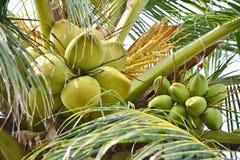 Noix de coco s'élevant sur la paume Photographie stock libre de droits