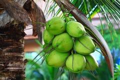 Noix de coco sur l'arbre Photographie stock
