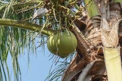 Noix de coco sur la paume Image libre de droits
