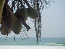 Noix de coco sur la paume contre un ciel bleu Photos libres de droits