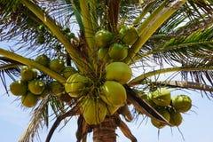 Noix de coco sur un palmier sur la plage au Togo image stock