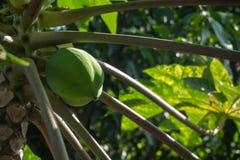 Noix de coco verte fraîche sur l'arbre avec brouillé photos stock