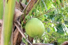 Noix de coco verte sur la nature d'arbres de noix de coco Photos stock