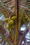 Noix de coco vertes accrochant sur l'arbre de noix de coco photo stock