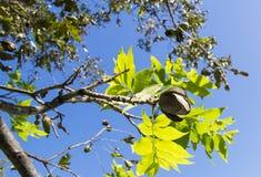Noix de pécan sur un branchement d'arbre avec des lames Photographie stock libre de droits