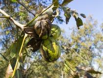 Noix de pécan sur un branchement d'arbre avec des lames Images libres de droits