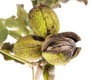 Noix de pécan sur un branchement d'arbre avec des lames Photo stock