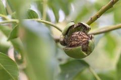 noix mûre d'arbre image libre de droits