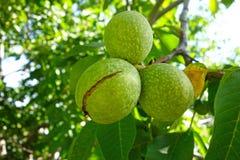 noix mûres sur un arbre Images libres de droits
