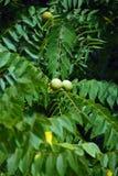 Noix noire (nigra de Juglans) Photographie stock