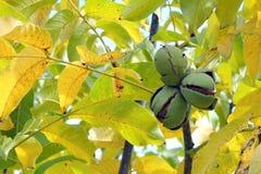 Noix sur l'arbre Photographie stock libre de droits