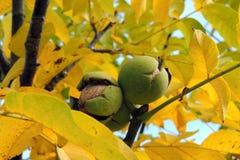 Noix sur l'arbre Image libre de droits