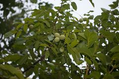 Noix sur l'arbre Automne moissonnant à la ferme Verger de noix Photo stock
