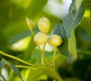 Noix vertes sur un arbre dans la nature Photo libre de droits