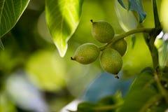 Noix vertes sur un arbre dans la nature Images libres de droits