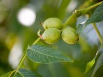 Noix vertes sur un arbre dans la nature Photos libres de droits
