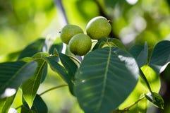 Noix vertes sur un arbre dans la nature Image libre de droits