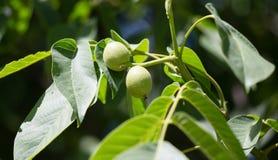 Noix vertes sur un arbre dans la nature Photographie stock