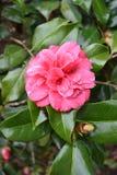 Nokautowe róże Zdjęcie Royalty Free