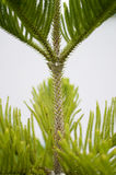 Nolfolk pine. In the park Stock Photography