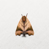 Nolid moth on white screen Royalty Free Stock Photo