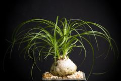 Nolina. Recurvata in black background Stock Images