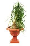 Nolina (Beaucarnea recurvata) in a flower pot isolated on white. Nolina (Beaucarnea recurvata) in a flower pot isolated on white background Stock Photography