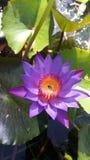 Nollmanel blommor Sri Lanka arkivbilder