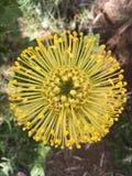 Nom inconnu de boule jaune de fleur Images libres de droits
