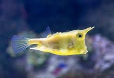 nom latin de longhorn de lactoria de cowfish de cornuta Images libres de droits