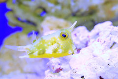 nom latin de longhorn de lactoria de cowfish de cornuta Photo stock