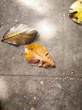 Nom scientifique d'amande de mer : Chute sèche de feuilles de catappa de Terminalia photos libres de droits