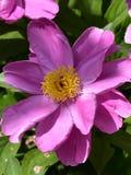 Nom scientifique de lactiflora de Paeonia : Cercueil de lactiflora de Paeonia , premier ministre en fleurs Photographie stock libre de droits
