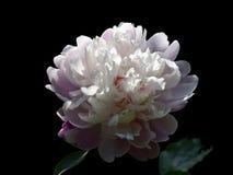 Nom scientifique de lactiflora de Paeonia : Cercueil de lactiflora de Paeonia , premier ministre en fleurs Image stock