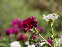 Nom scientifique de lactiflora de Paeonia : Cercueil de lactiflora de Paeonia , premier ministre en fleurs Photos libres de droits