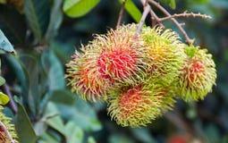 Nom scientifique de ramboutan : Lappaceum Linn de Nephelium Images libres de droits