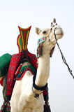 Nomad camel with saddle facing forward Royalty Free Stock Image