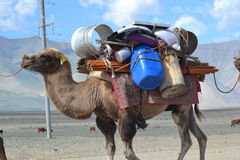 Nomad Camel. This camel is used to move al the belongings of the nomad people of Mongolia Royalty Free Stock Photos