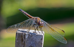 Nomad dragonfly perching on post Royalty Free Stock Photo