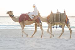 Arab man riding camels on the beach. royalty free stock image