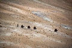Nomad Life. Donkey caravan in Himalaya. india Stock Photography