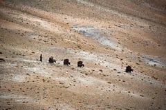 Nomad Life. Donkey caravan in Himalaya. india. Nomad Life. Tibetan man leads donkey caravan across Himalaya mountains. India, Lahdakh, altitude 4600m Stock Photography
